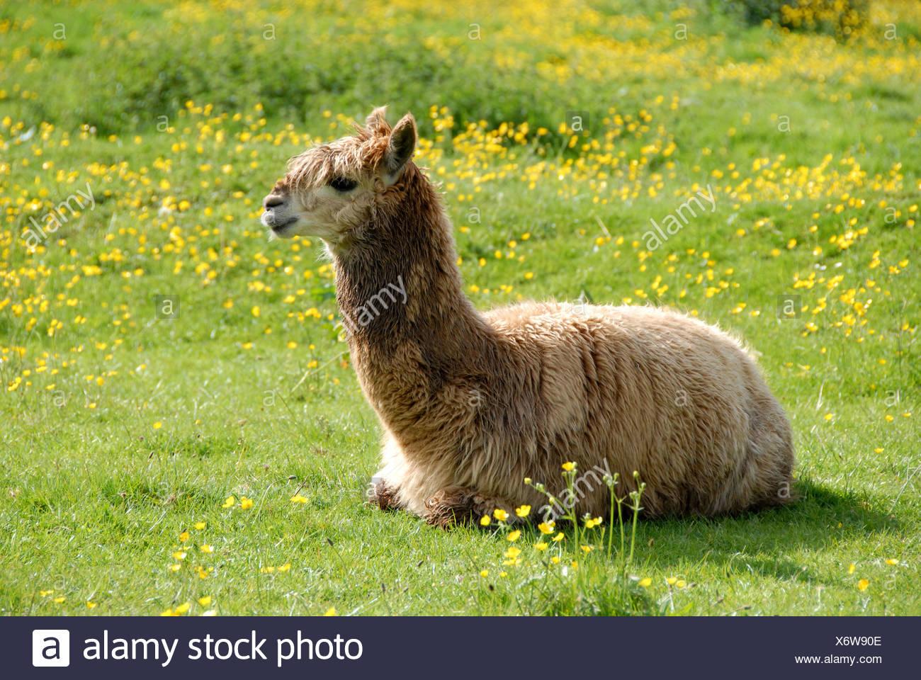 Aplaca lama pacos domestic pet meadow grass buttercups wool herbivore alpaca alpacas camelidae domestic domesticated hoofed - Stock Image