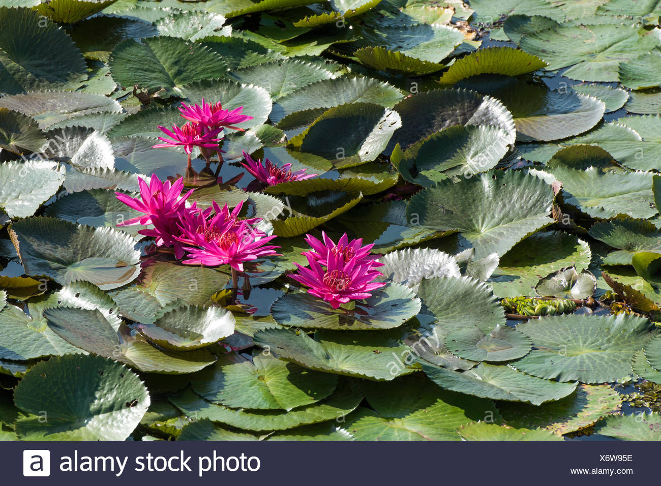 Kerala Lotus Stock Photos Kerala Lotus Stock Images Alamy