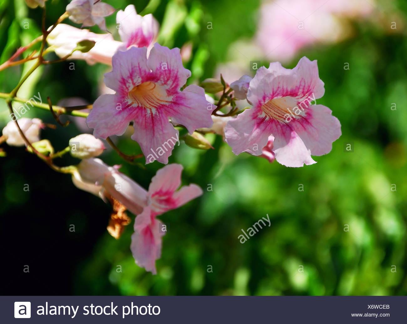 pink trumpet vine Stock Photo