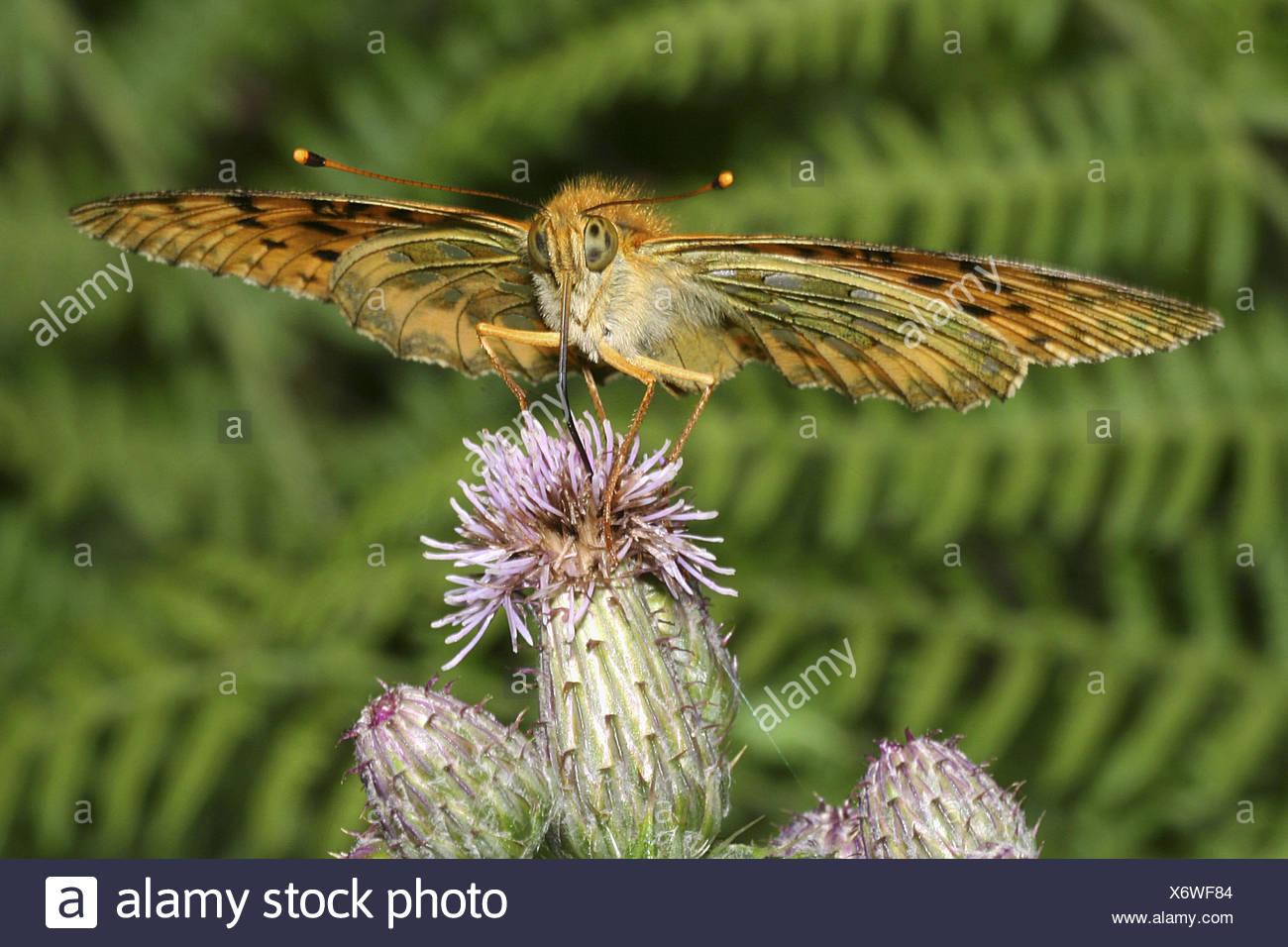 Fritillary (Argynnis sp.) - Stock Image