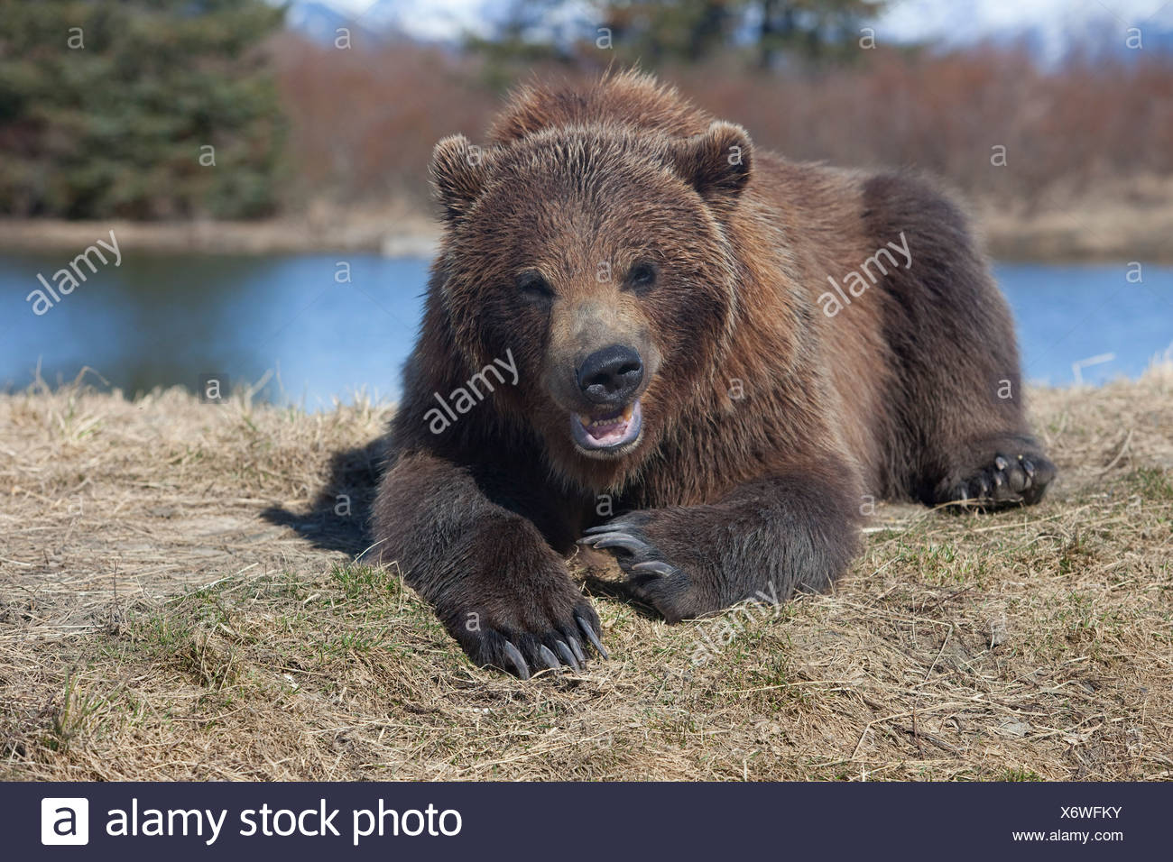 Grizzly bear laying in grass and snarling, Alaska Wildlife Conservation Center, Southcentral, Spring, CAPTIVE - Stock Image