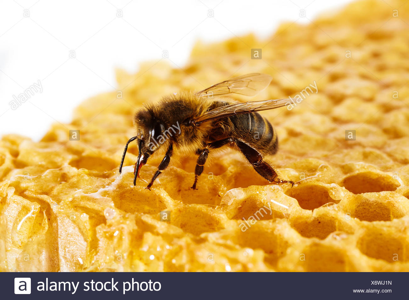 Honey bee on honeycomb - Stock Image