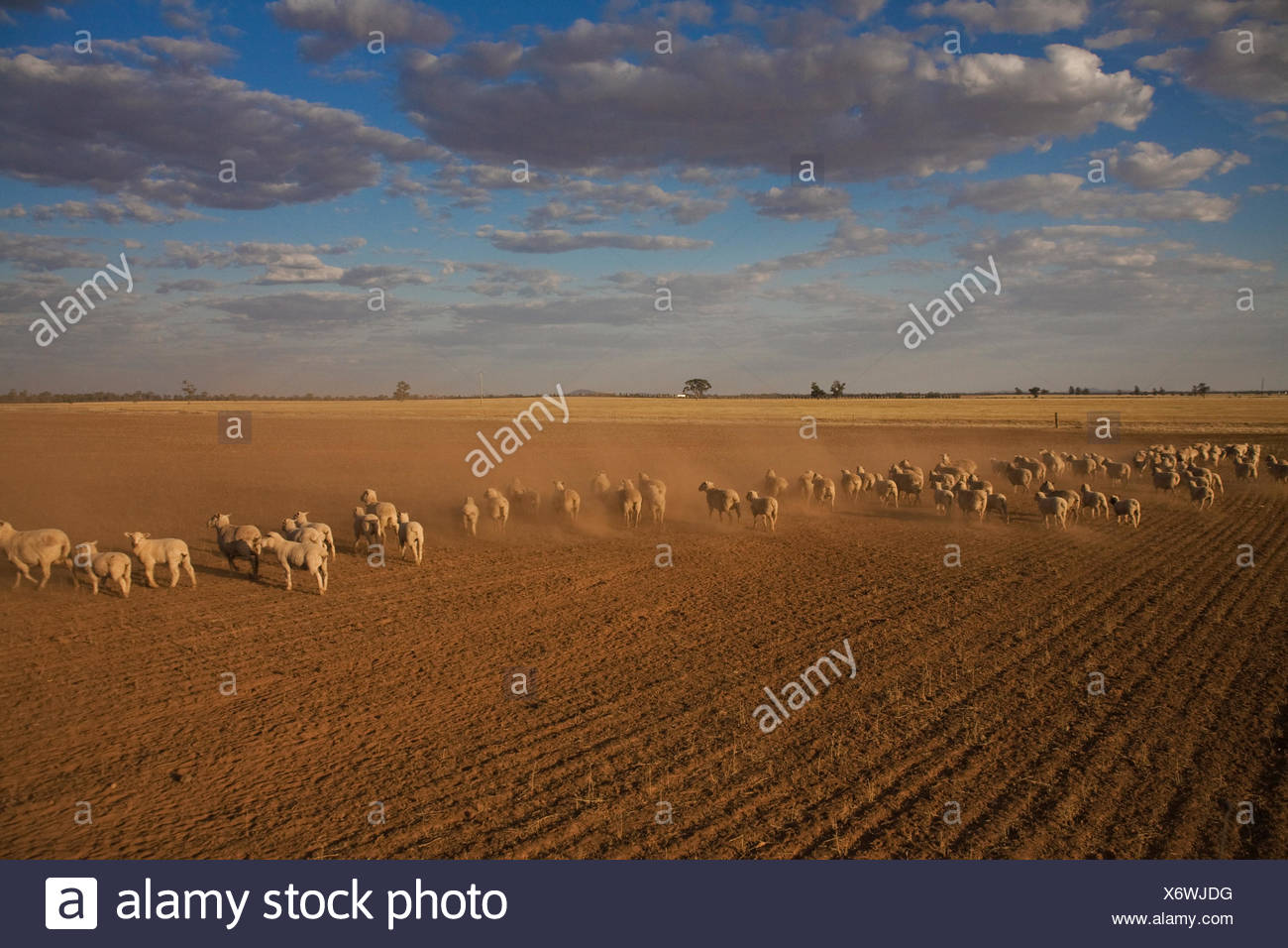 Sheep are put out to graze in a failed wheat field caused by drought. - Stock Image