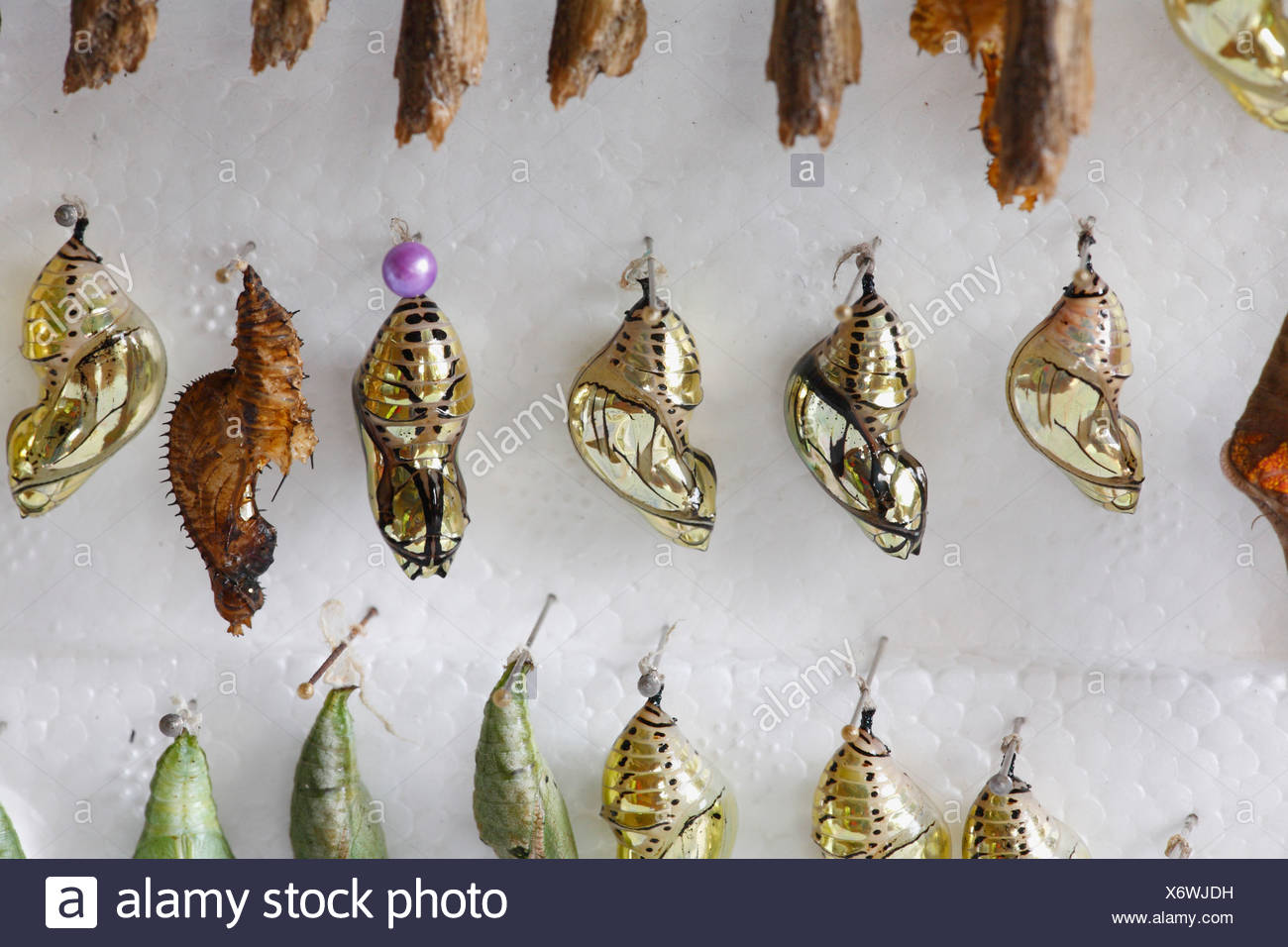 Costa Rica, Pupas of butterflies at butterfly farm - Stock Image