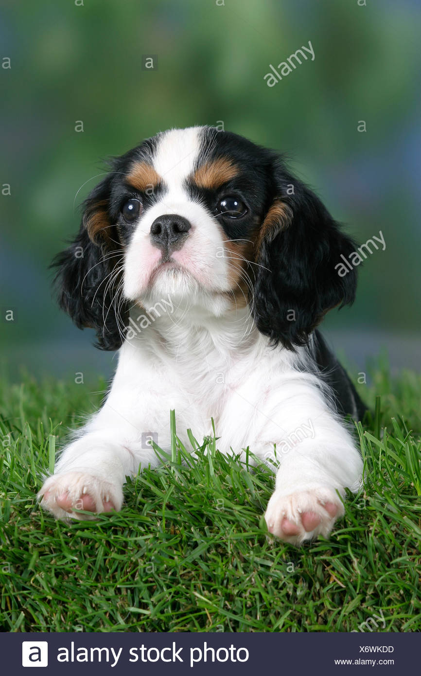 Cavalier King Charles Spaniel Puppy 8 Weeks Tricolor Stock Photo Alamy