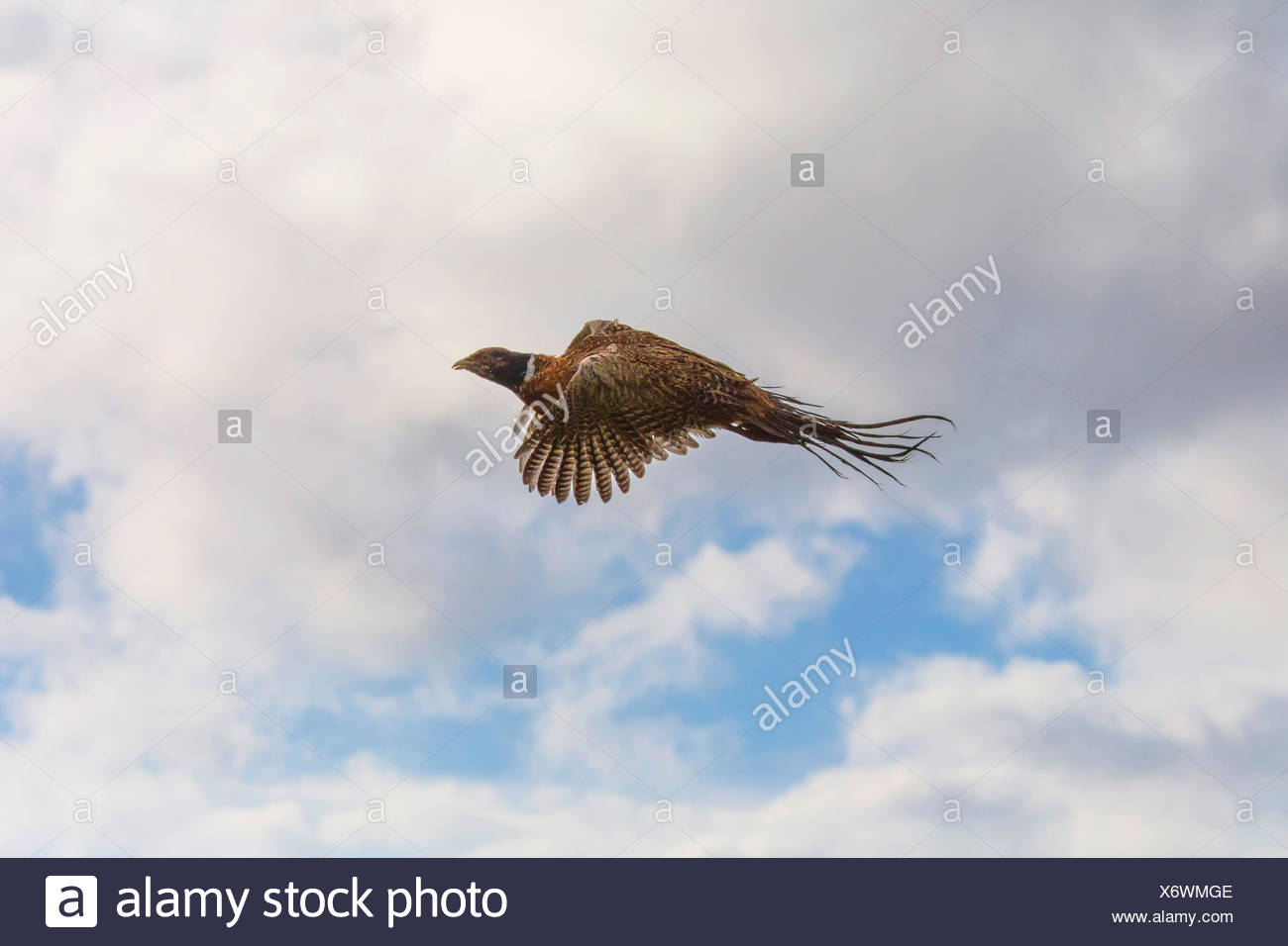 common pheasant, Caucasus Pheasant, Caucasian Pheasant (Phasianus colchicus), flying in the sky, Germany, Bavaria, Niederbayern, Lower Bavaria - Stock Image