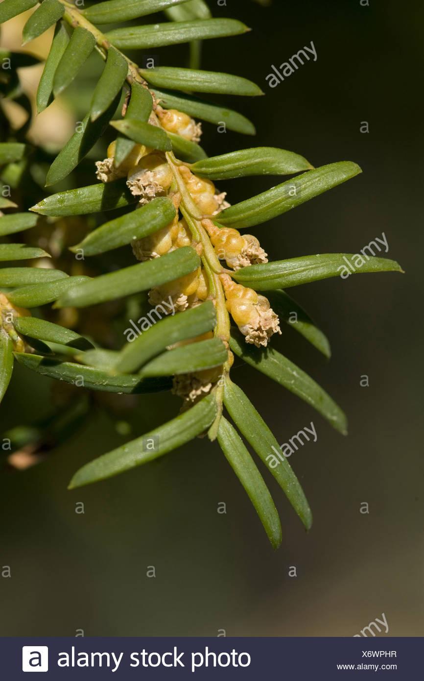 european yew, taxus baccata - Stock Image