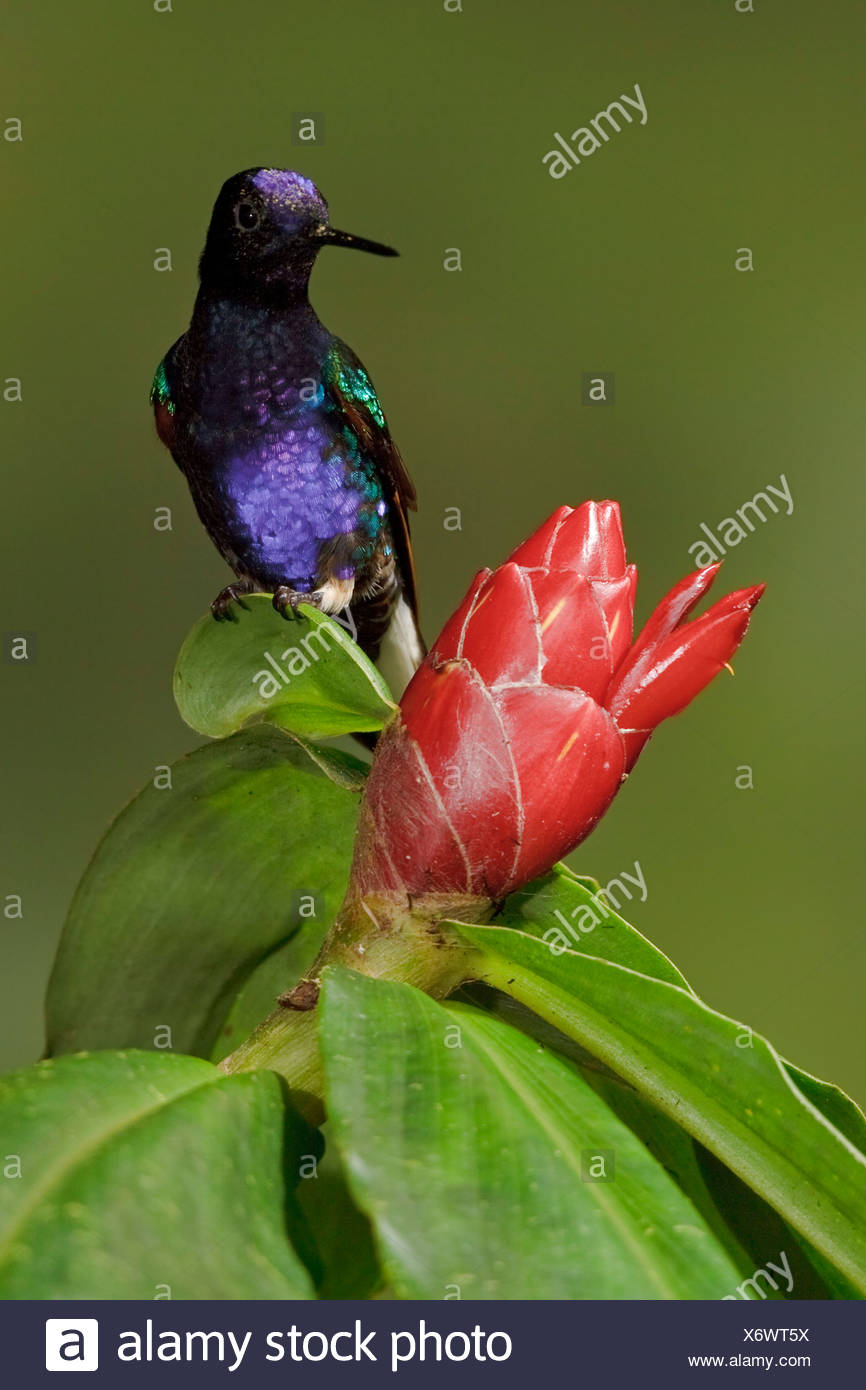 Velvet-purple Coronet (Boissonneaua jardini) feeding at a flower while flying in the Milpe reserve in northwest Ecuador. Stock Photo