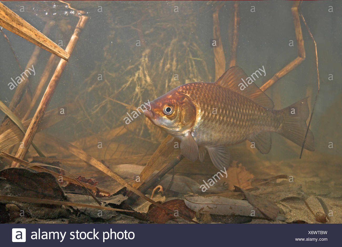 Photo of a gibel carp swimming in its environment underwater between reed and dead leafs. Carassius auratus gibelio. Stock Photo