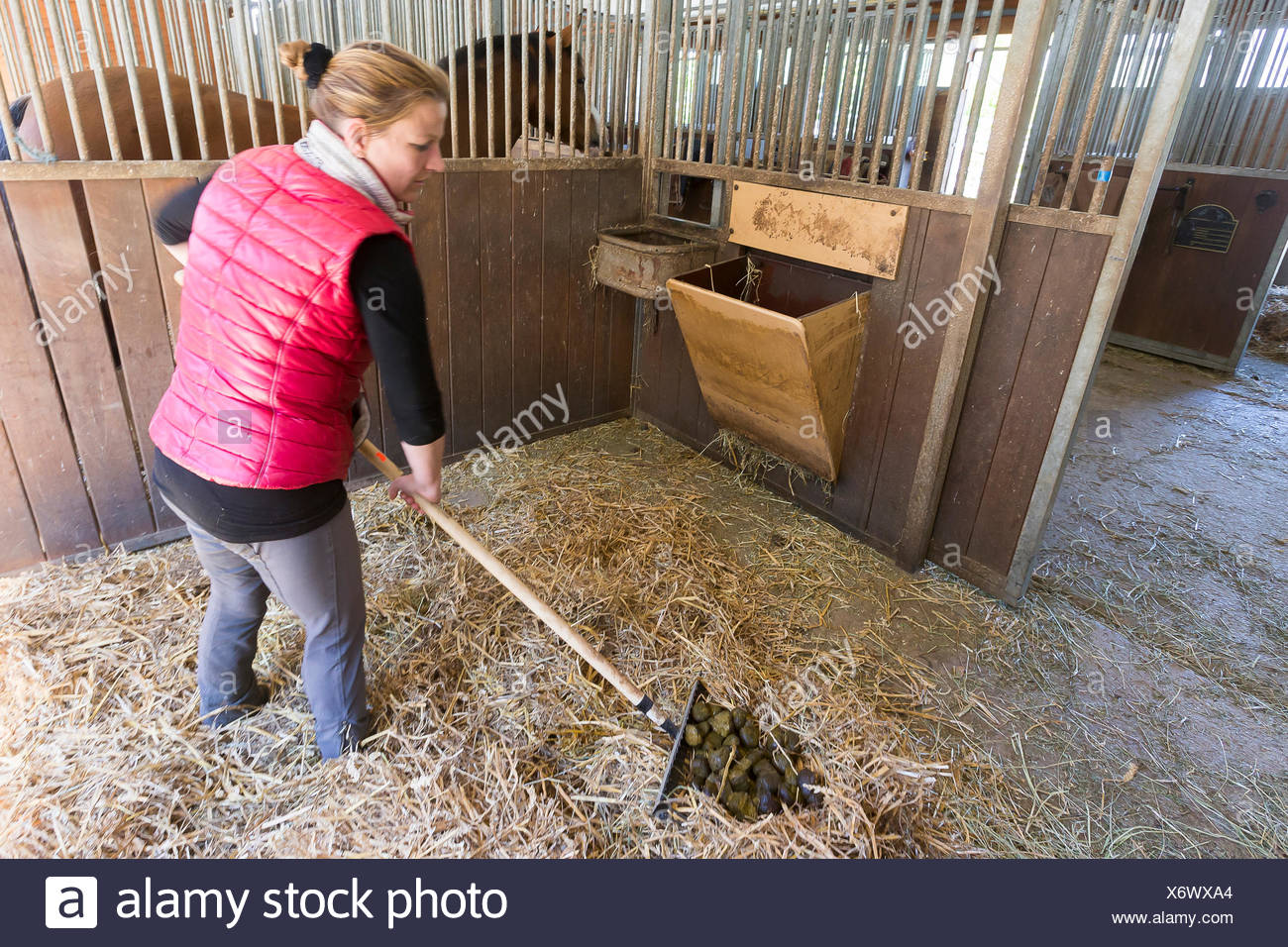 Domestic horse Collecting droppings shavings scoop - Stock Image