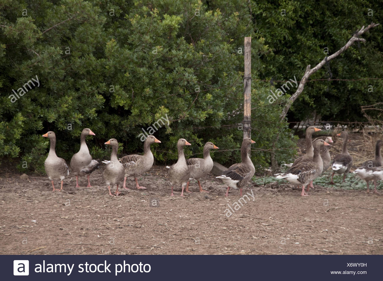 Domesticated grey lag geese in farm yard situation - Stock Image