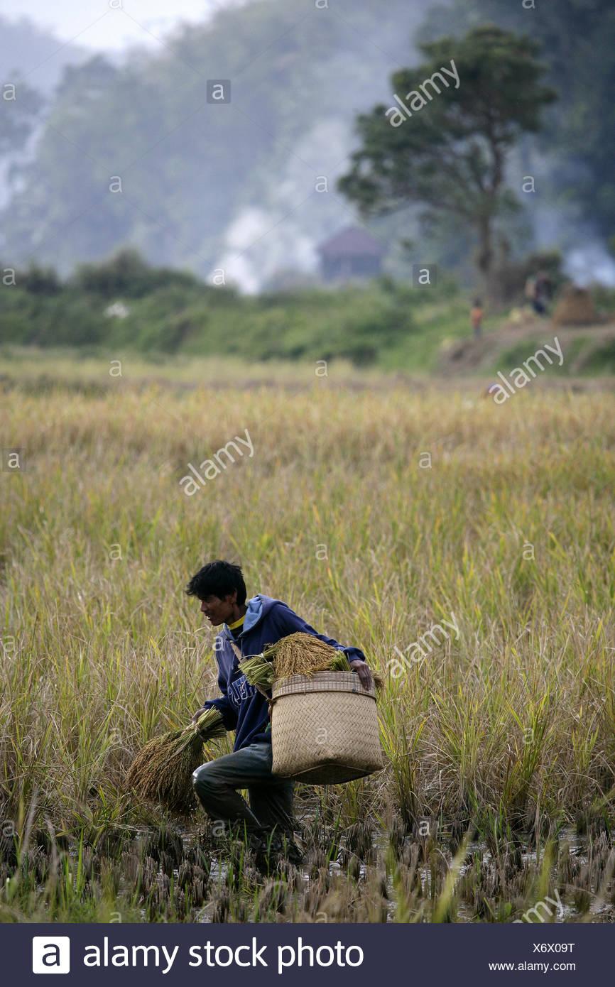Indonesian Rice Farmer in Tana Toraja on Sulawesi - Stock Image