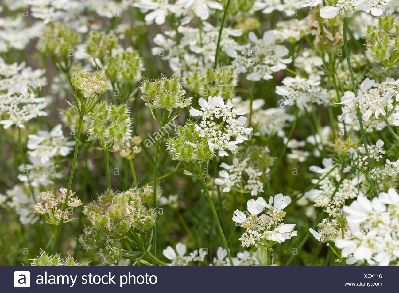 White lace flower, White laceflower, Minoan Lace (Orlaya grandiflora, Caucalis grandiflora), blooming, Germany Stock Photo