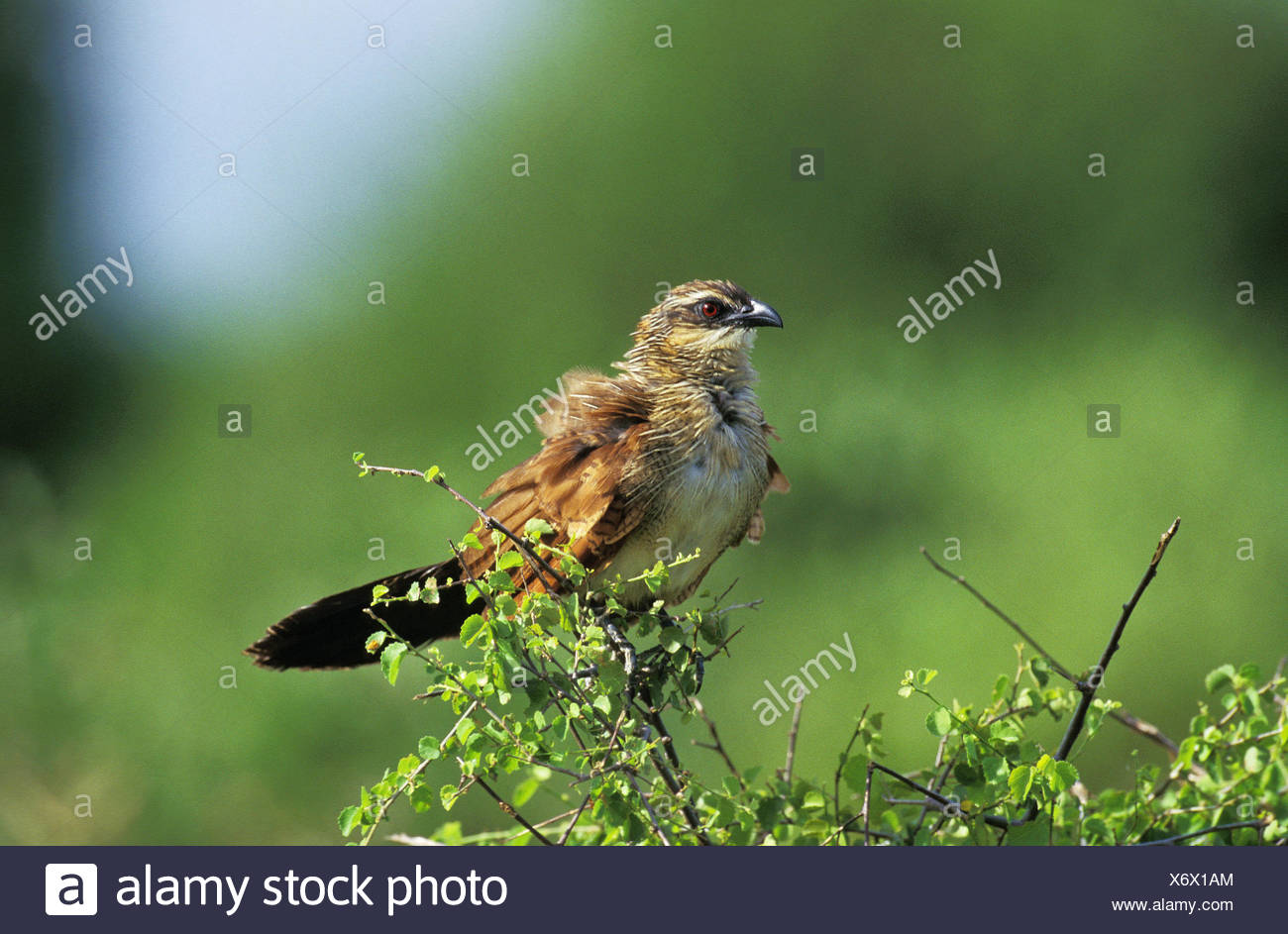 White-Browed Coucal or Burchell's Coucal, centropus superciliosus, Adult, South Africa - Stock Image