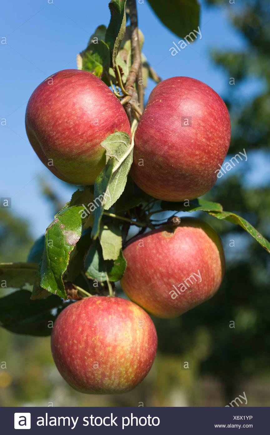 Ripe apples (Malus) on a twig, Franconia, Bavaria, Germany, Europe - Stock Image