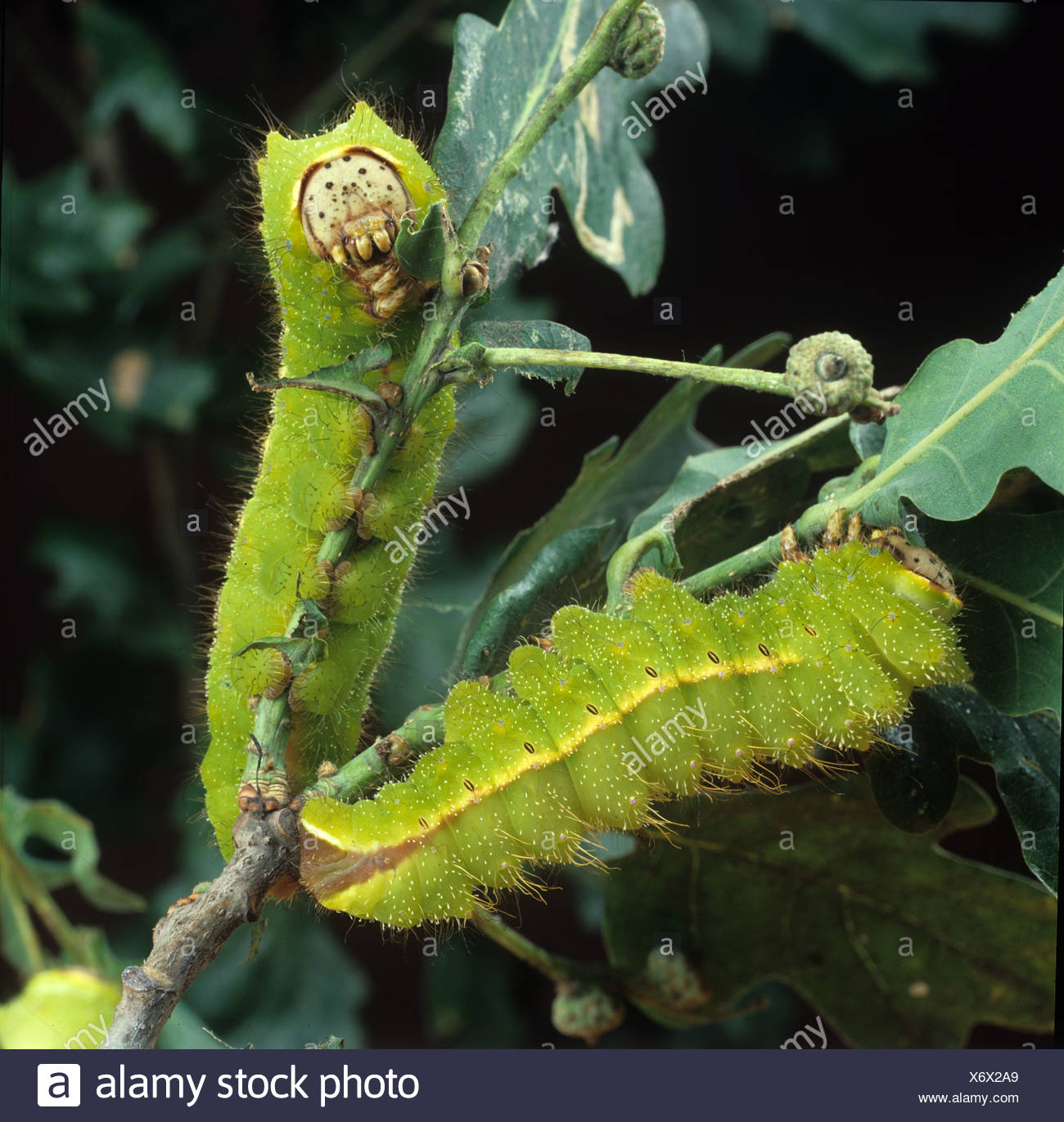 Chinese oak silkworm or tussar moth Antheraea pernyi caterpillars on damaged oak Stock Photo