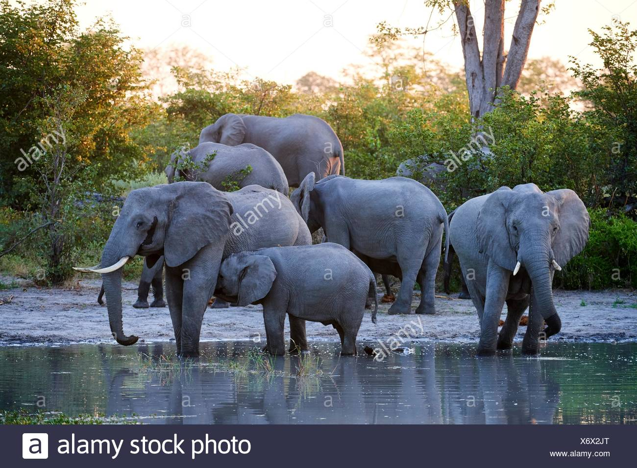 African elephant family cooling down at sunset at a waterhole (Loxodonta africana) Moremi National Park, Okavango delta, Botswana, Southern Africa. - Stock Image