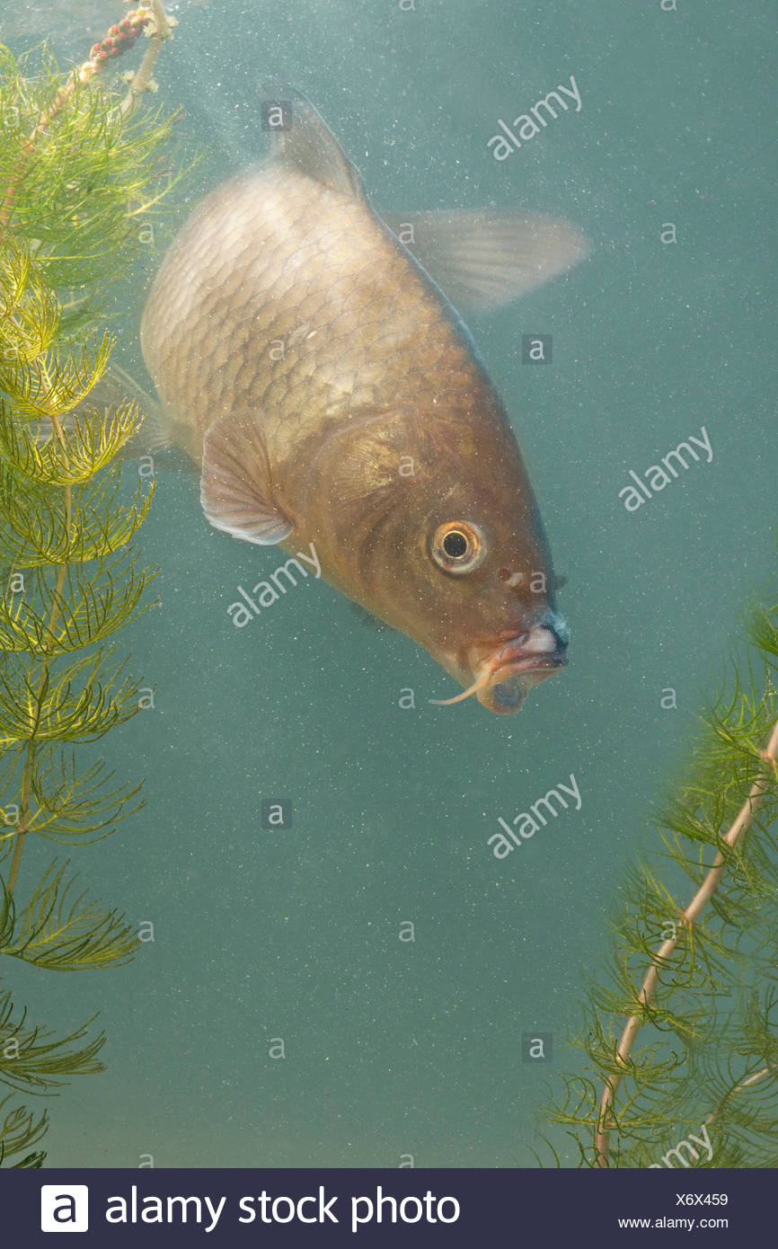 photo of a swimming young carp against a blue background with green plants - Stock Image