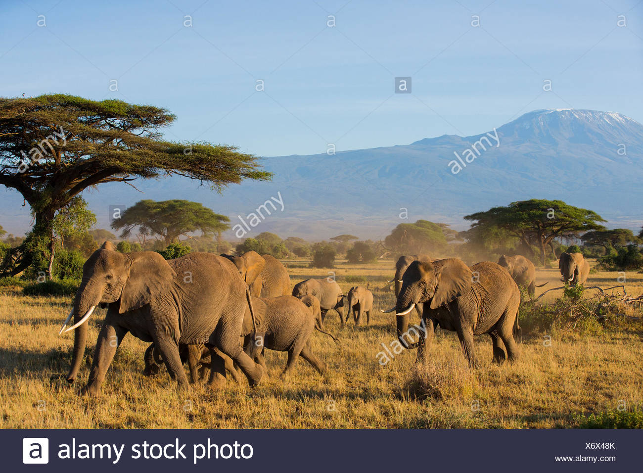 African Elephant (Loxodonta africana) Wandering herd at Amboseli National Park Kenya against Kilimandjaro - Stock Image