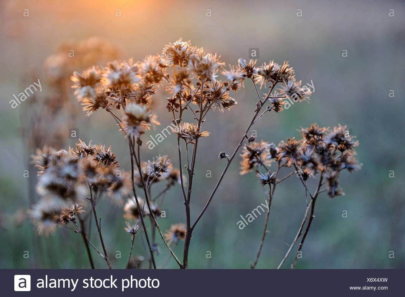 dried plants, Eure-et-Loir department, Centre region, France, Europe. - Stock Image
