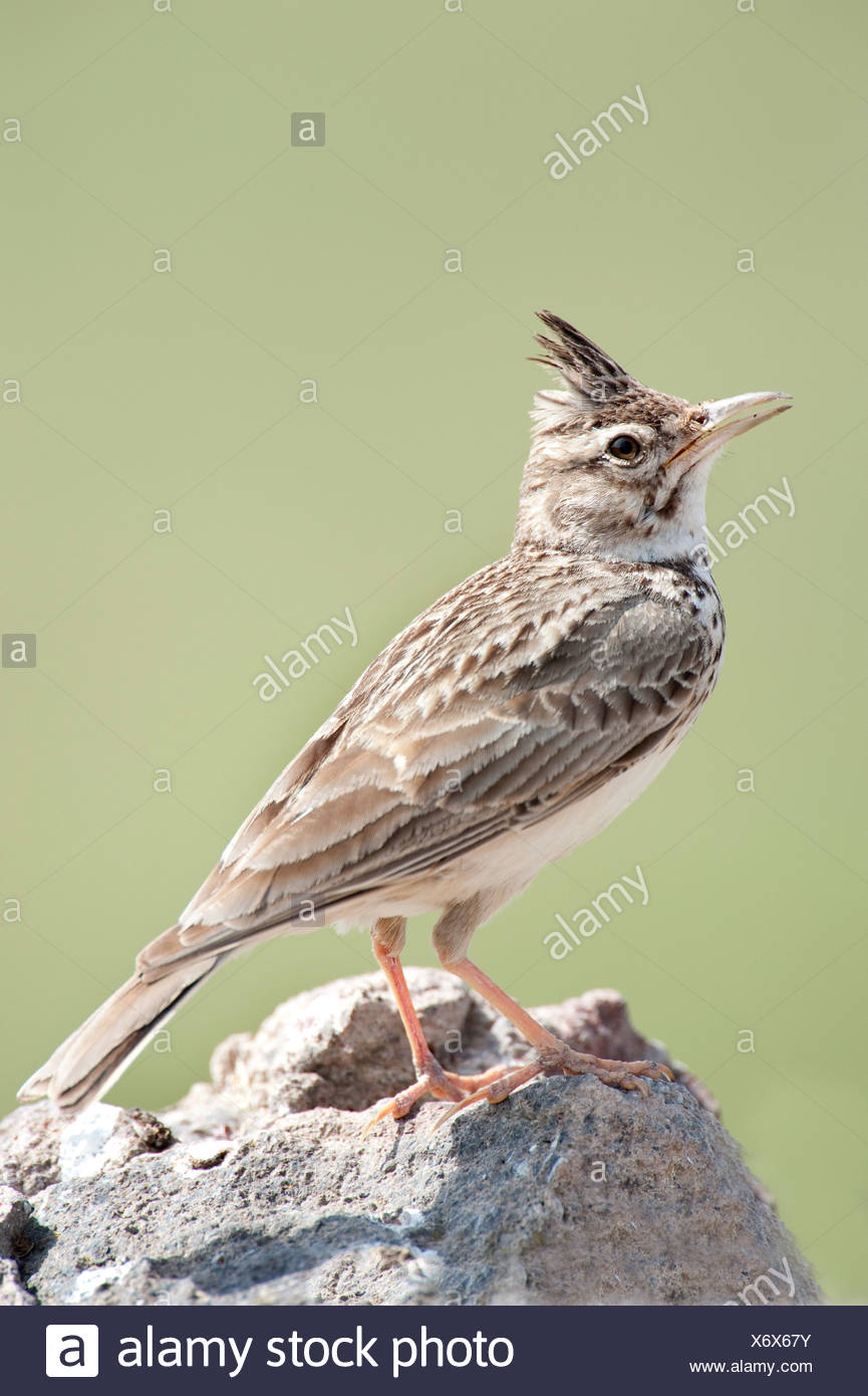 Crested Lark Galerida cristata Lesvos Greece Stock Photo