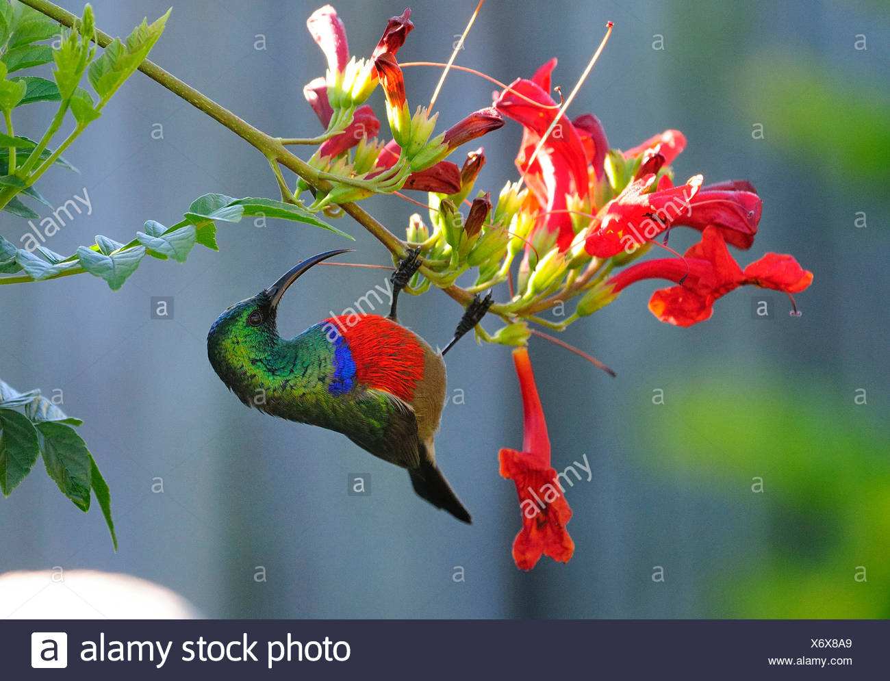 Lesser double-collared sunbird (Cinnyris chalybeus, Nectarinia chalybea), at red blossom, South Africa - Stock Image