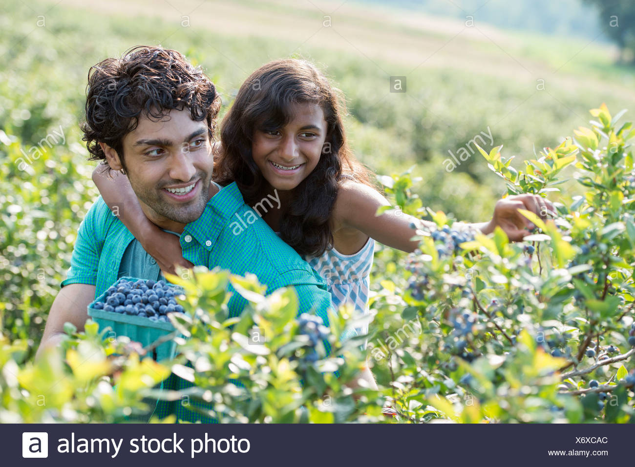 People picking fresh blueberries from the organic grown plants in a field. - Stock Image