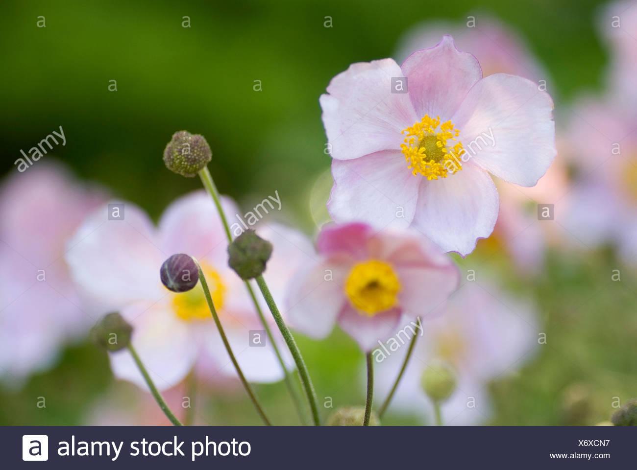 Japanese anemone, Japanese Windflower (Anemone japonica, Anemone hupehensis var. japonica), flowers Stock Photo