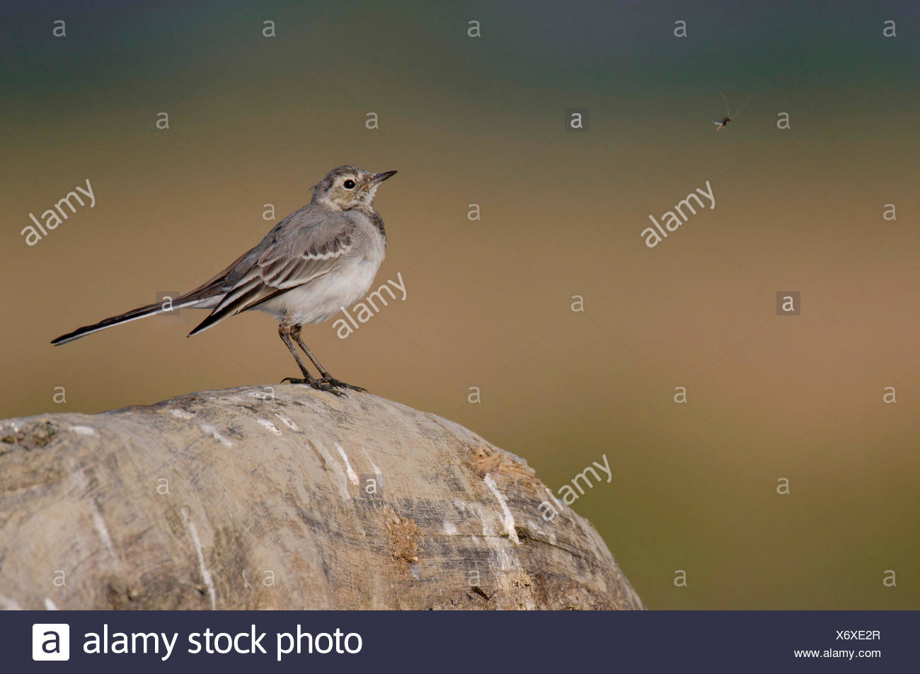 pied wagtail (Motacilla alba), juvenile looking at a mosquito, Germany, North Rhine-Westphalia, Ruhr Area, Dortmund - Stock Image