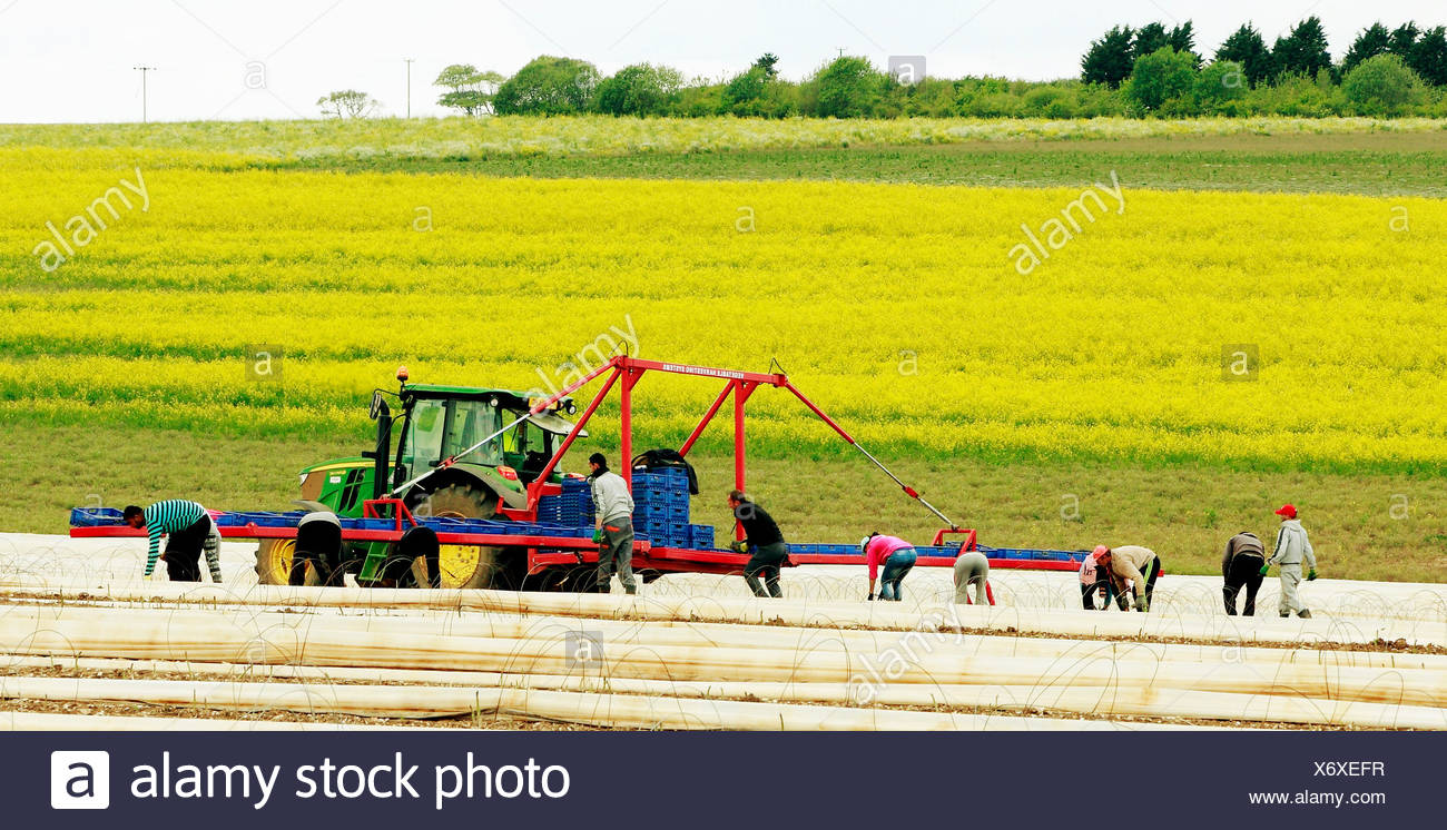 Immigrant agricultural labourers, workers on Asparagus field, Norfolk UK, Romanian, Bulgarian workers in England - Stock Image
