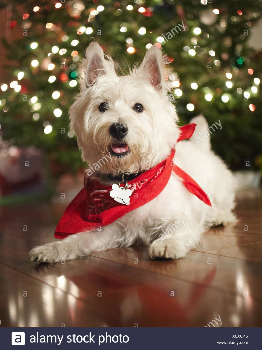 Holliday Puppy1 - Stock Image