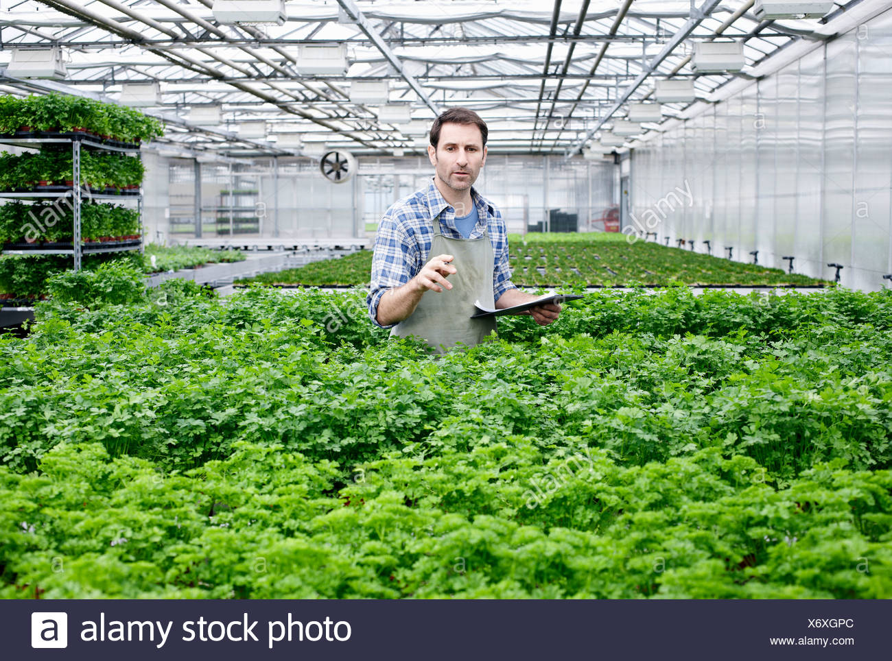 Germany, Bavaria, Munich, Mature man in greenhouse between parlsey ...