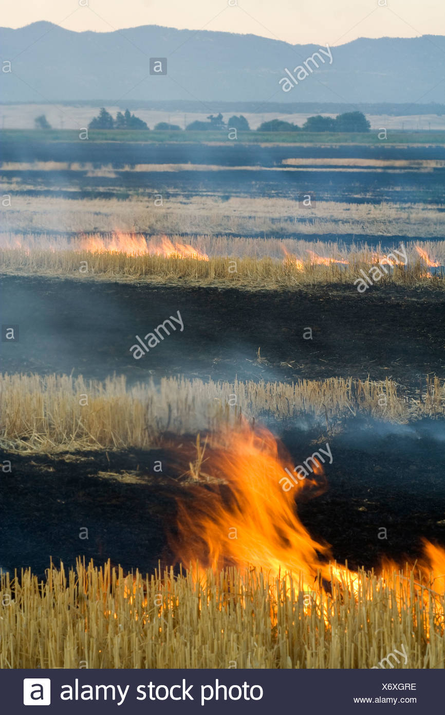 Wheat stubble being burned after the harvest to control diseases, reduce weed competition and to make the next planting easier. - Stock Image
