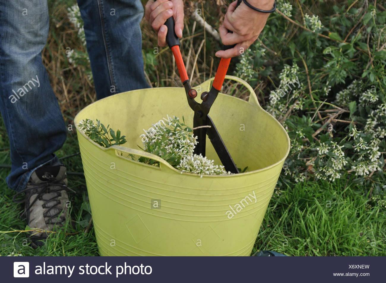 Cutting of groundsel bush inflorescences Stock Photo