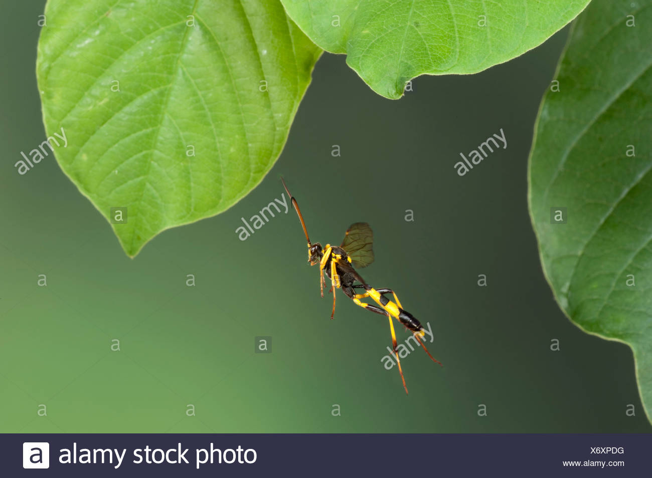 Field Digger Wasp Mellinus arvensis In flight free flying High Speed Photographic Technique - Stock Image