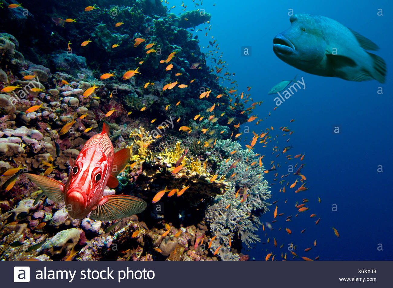 Middle East Egypt Red Sea, Basslets Anthiinae Digital Composite> Napoleon and Squirrelfish - Stock Image