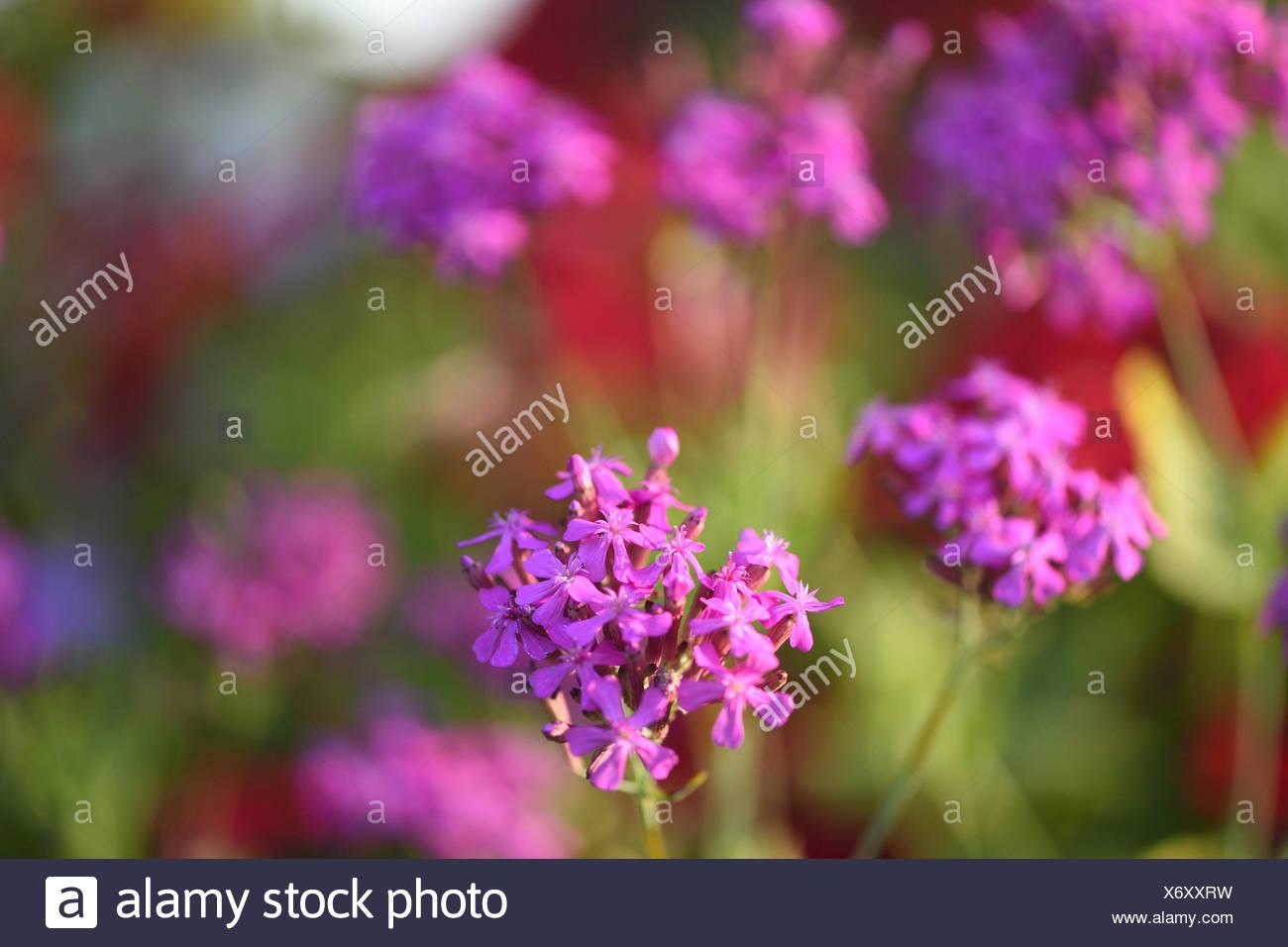 garden catchfly, sweet-william catchfly, thrift catchfly, none so pretty (Silene armeria), blooming - Stock Image