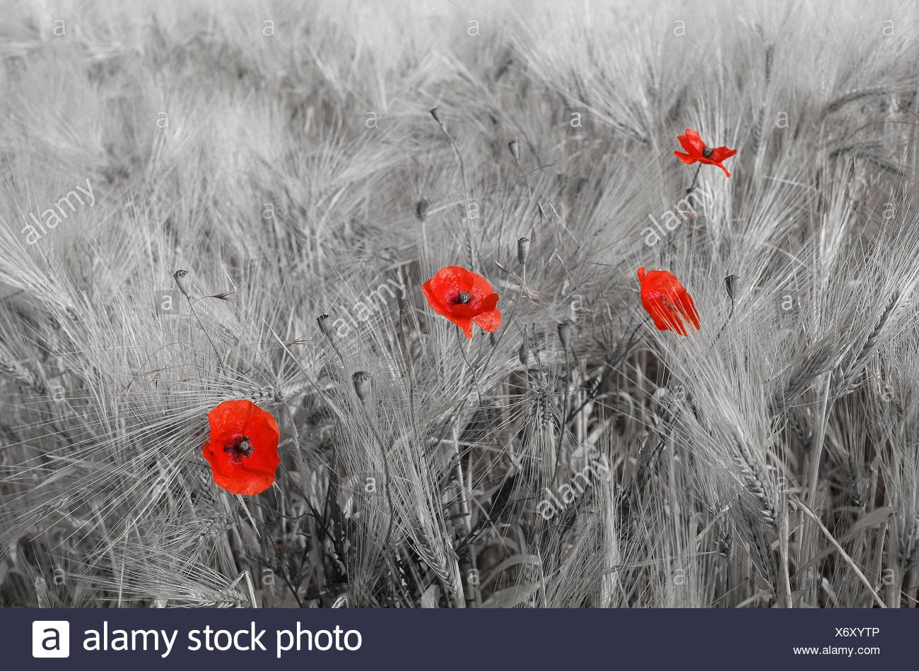 Blooming poppies in a wheat field - France - Stock Image
