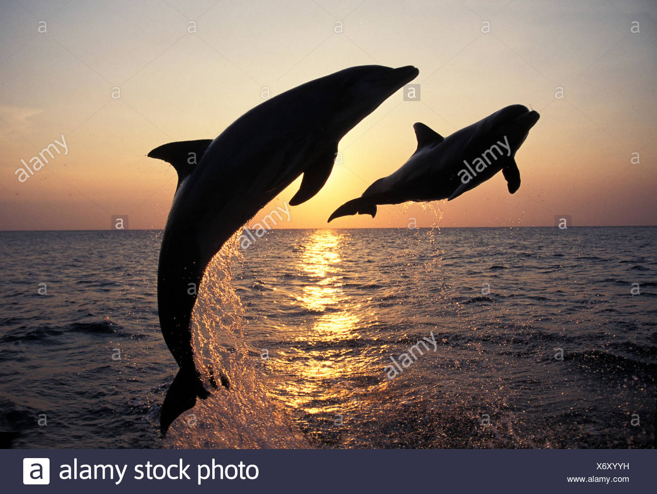 BOTTLENOSE DOLPHIN tursiops truncatus, ADULTS LEAPING AT SUNSET, HONDURAS - Stock Image