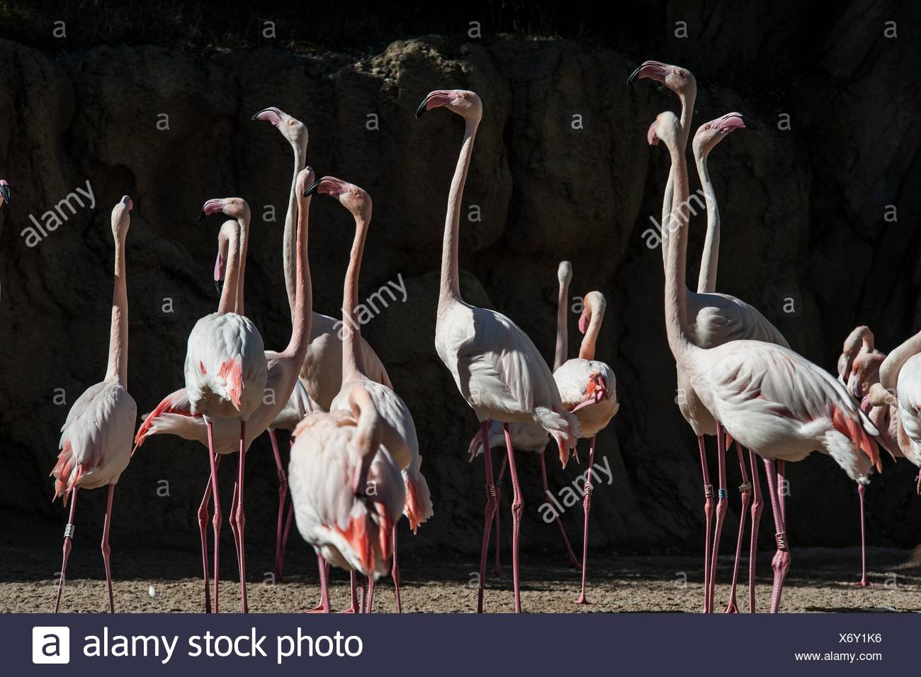 Group of pink flamingos, Zoo, Valencia, Spain - Stock Image