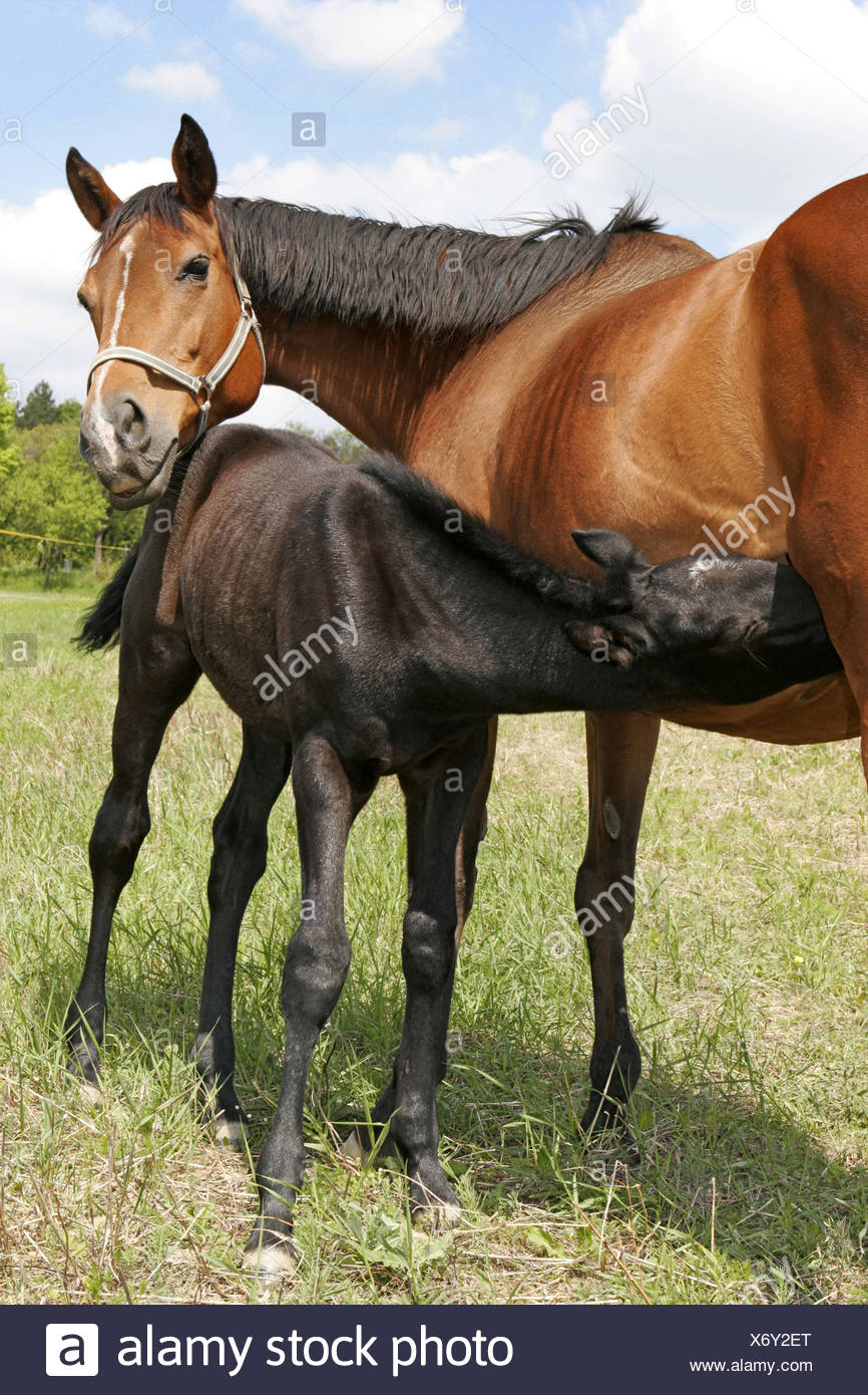 Wiese, Stute, Fohlen, Bewegung, , Weide, Tiere, Säugetiere, Saeugetiere, Unpaarhufer, Pferde, Jungtier, Koppel, Weidegang, Koppe - Stock Image