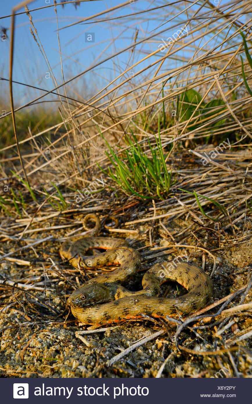 dice snake (Natrix tessellata), water snake at a slope, Romania, Dobrudscha, Biosphaerenreservat Donaudelta, Sf�ntu Gheorgh - Stock Image
