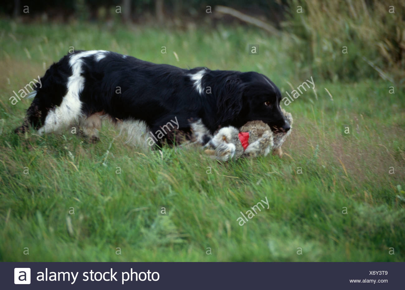 ENGLISH SPRINGER SPANIEL STANDING IN FIELD WITH DEAD RABBIT - Stock Image