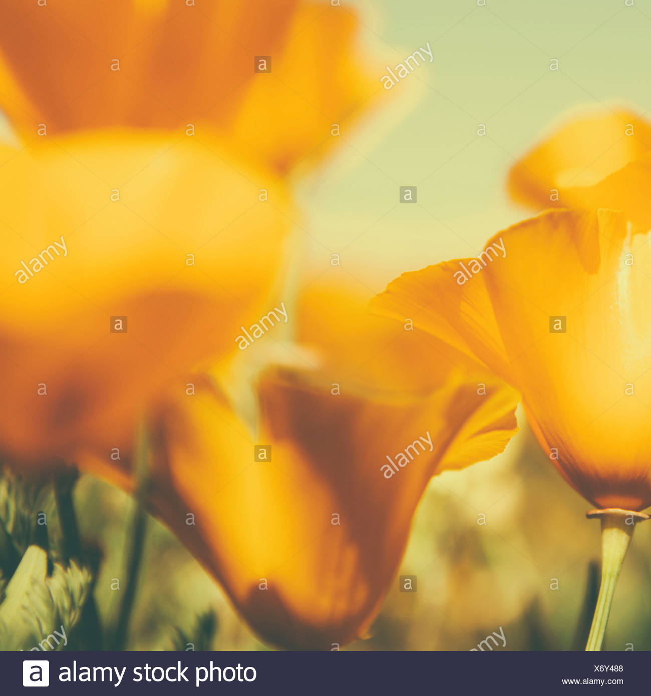 California poppies, Eschscholzia californica, flowering. Bright yellow petals. - Stock Image