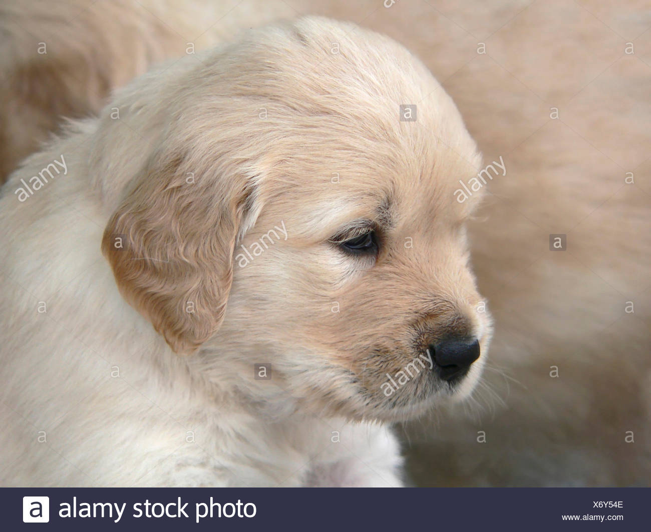 A 4 Weeks Old Golden Retriever Puppy Portrait In Light Brown Back Of Animal Fur Stock Photo Alamy