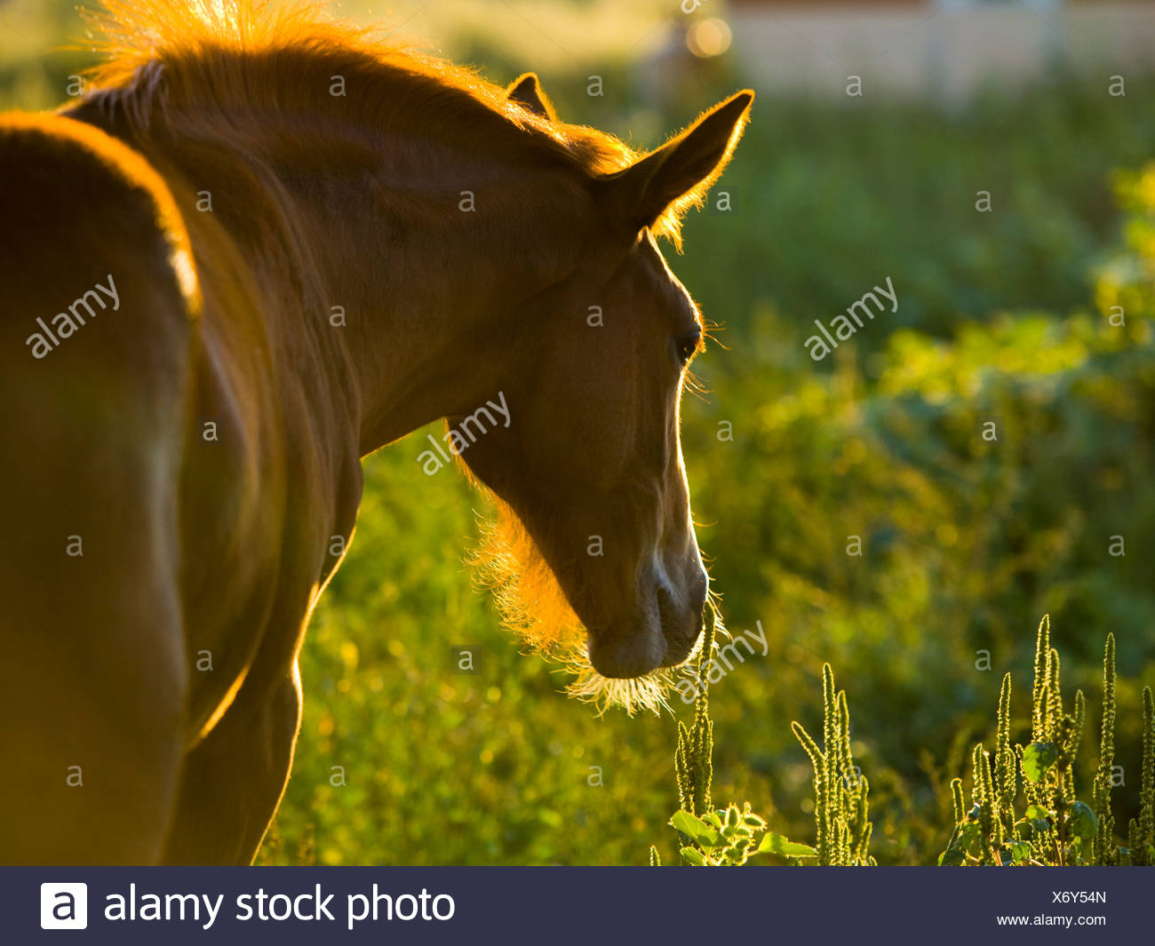 horse in a field - Stock Image
