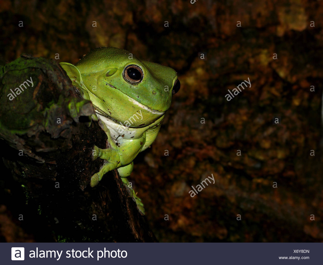 Amphibian Green Australia Frog Terrarium Rise Climb Climbing Ascend