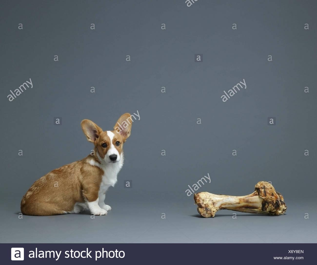 Dog sitting next to huge bone - Stock Image