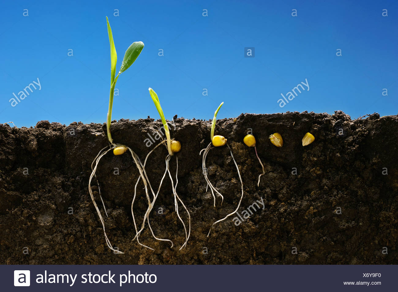 Grain corn early growth development stages showing root systems; left to right: six stages from seed stage to two-leaf stage. - Stock Image