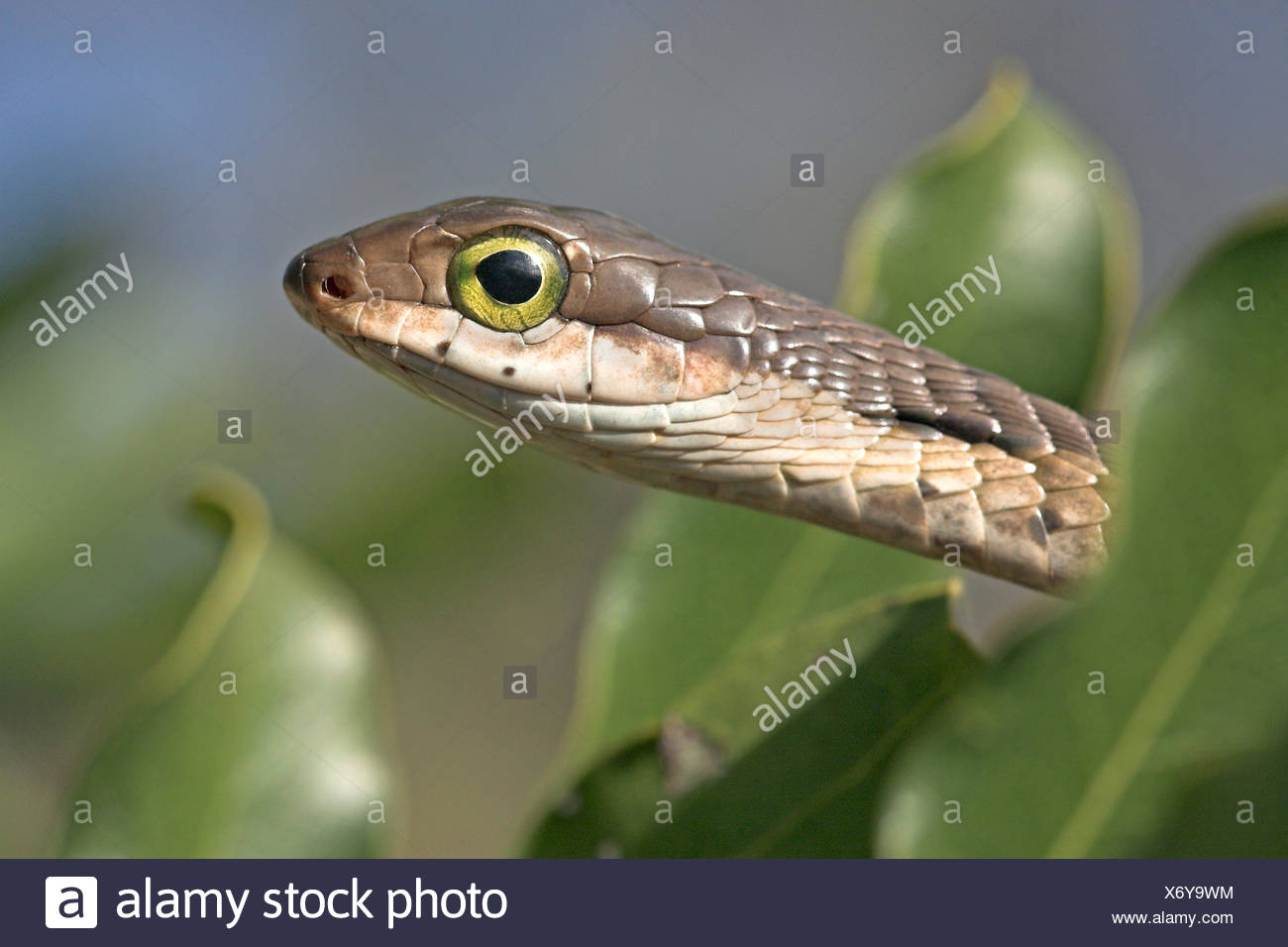 portrait of a female boomslang between green leaves with a little bit of blue sky in the background - Stock Image